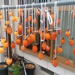 干し柿作りに挑戦しました。150個の柿を我が家に吊るしました。    ・風通るようにずらして柿吊るす(和良)