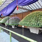 新宿御苑の大作り花壇の菊はどれも銘品ばかりで見ごたえがありました。 ・一流の菊ばかりなる菊花展(和良)