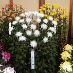 江戸菊花壇の江戸菊は江戸時代の江戸で育てられてきた古典菊です。   ・江戸菊の変化の妙の小粋さよ(和良)