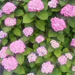 藍住町を散歩しているときに見つけた紫陽花です。           ・一株に百越す鞠や濃紫陽花(和良)