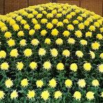 大作り花壇の裾野の輝と名付けられた大菊も518輪の花を付けていました。 ・一本の根から五百の花咲かせ(和良)