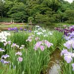 東御苑の花菖蒲はどれも今を盛りと咲き競っていました。        ・紫もいろいろとあり菖蒲園(和良)