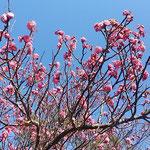 徳島市の文化の森の公園では紅梅が咲き笹子が来ていました。  ・目の前の梅に笹子の来て止る(和良)