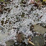 散ったばかりの花びらは水を弾いて浮かんでいました。  ・水弾き浮かんでをりぬ花筏(和良)
