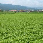 徳島県石井町浦庄の藍畑です。よく茂っていました。             ・長雨に干せざる藍の茂りやう(和良)