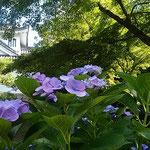 愛知県の岡崎城は家康が出生した城。今は空堀になっていました。    ・家康の城は空堀濃紫陽花(和良)