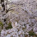とくしま植物園の丘に咲き満つ桜です。満開でした。          ・犇めけるやうに咲き満つ桜かな(和良)