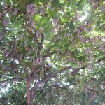 山梨県の勝沼では棚一杯に葡萄が実っていました。                                 ・一木で棚埋め尽くしたる葡萄(和良)