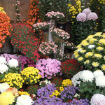 いろいろな菊が寄せ集められて展示されていました。                  ・小さきほど強き香りや菊の花(和良)