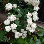 倉敷美観地区の茶房の中庭で見つけた小手鞠です。綺麗でした。     ・中庭に小手鞠の咲く茶房かな(和良)