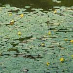 皇居東御苑の池ではあさざが黄色い花をつけていました。               ・あさざ咲く群れなして咲く明るさよ(和良)