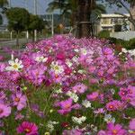 鳴門市の高島では街路という街路にコスモスが咲き競っていました。  ・街路てふ街路コスモス咲き満ちて(和良)