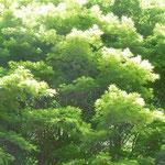 熊野古道の『とがの木茶屋』近辺の若楓です。風が爽やかでした。  ・中辺路のとがの木茶屋の青葉風(和良)
