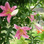 掛川城に行ってきました。川の岸辺に百合の花が咲き競っていました。  ・掛川の土手に並んで百合の花(和良)