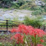 大歩危駅から吉野川の渓谷に下りていくと曼殊沙華が咲いていました。  ・大歩危の水の青さや曼殊沙華(和良)