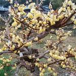 吉野川市の藤井寺の門前にある民家の庭で見た臘梅です。  ・臘梅の香の消えてゐる今朝の雨(和良)