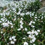 徳島城のあった徳島市中央公園では著莪の花が群れを成していました。  ・遠目にも白き一叢著莪の花(和良)