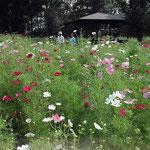 日曜日の国営讃岐まんのう公園は家族連れでにぎわっていました。 ・秋桜や蝶も蜻蛉も子らもゐて(和良)