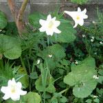 百合の花は犇めき咲く十薬の花と競い合うように咲いていました。    ・十薬の犇めく庭に百合の花(和良)