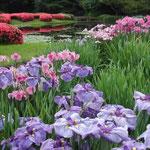 皇居東御苑の菖蒲園は今盛り。やはり紫色がいいですね。 ・一巡し元の紫菖蒲園 (和良)