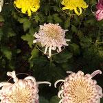高校の初展示や高校生の課外授業もあり菊作りが伝えられていました。 ・高校の課外授業の菊花展(和良)