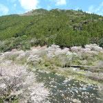 上勝町の月ヶ谷温泉では渓流から河鹿の鳴き声が聞こえました。 ・谷川の水清らかに河鹿鳴く(和良)