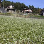 貞光町の山間部で蕎麦の花に逢いました。昔ながらの風景でした。 ・懐かしき家は今年も蕎麦の花(和良)