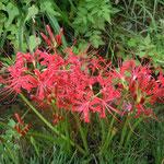 徳島県石井町浦庄では水路の両側に曼珠沙華が咲き競っていました。           ・田の隅に先祖の墓や曼珠沙華(和良)