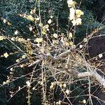 四番札所の門前には迎春花も黄色い花をつけていました。        ・門前に迎春花咲く野の札所(和良)