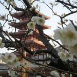 浅草寺の奥は静かでした。白梅が今を盛りに咲き誇っていました。  ・白梅や五重塔は朱色がち(和良)