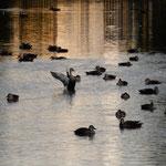 仁徳天皇陵古墳の濠は大きく浮寝鴨は時折羽ばたいていました。     ・時折は羽ばたきもして鴨浮寝(和良)