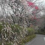 雪の舞う日、八王子市の創価大学で紅白の梅を見ました。 ・しだれ梅いよよしだれて春の雪 (和良)