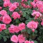 藍住町のバラ園は小雨にもかかわらず大勢の人出でした。                  ・小雨来て背筋伸ばせり薔薇の花(和良)