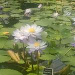 ひろびろと咲く睡蓮の青い色が印象に残りました。           ・睡蓮の水際立てる青さかな(和良)