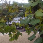 徳島市の丈六寺では木豇豆の大木に沢山の実が垂れていました。 ・木豇豆の実の垂れ寺の秋深し(和良)