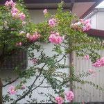 我が家の庭の百日紅です。台風の後も咲き続けています。          ・色褪せずなほも咲き継ぐ百日紅(和良)