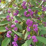 たわわに垂れた紫式部の実は秋の日差に輝いて見えました。  ・紫の玉に艶あり式部の実(和良)
