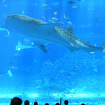 海洋博公園にある美ら海水族館は夏休みの子供たちで一杯でした。  ・夏休み甚兵衛鮫に見飽きぬ子(和良)