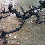 御殿庭の臥竜梅は枝が折れ曲がって咲いていました。  ・折れ曲がる枝の節くれ臥竜梅(和良)