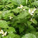 雨が降ると十薬の花は一段と生き生きしているようでいた。          ・降る雨に十薬の花凛として(和良)