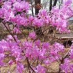 とくしま植物園の丘にはあけぼの躑躅も咲き始めていました。      ・日当たりてあけぼの躑躅らしき艶(和良)