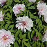 神宮寺では白い牡丹が真っ先に咲き始めていました。  ・一番に咲いてまぶしき白牡丹(和良)