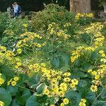 松の廊下があった皇居東御苑の本丸跡に石蕗の花が群生していました。  ・この辺が松の廊下ぞ石蕗の花(和良)
