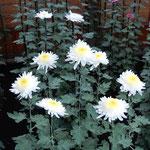 新宿御苑の菊花壇展の丁子菊です。いろいろな種類がありました。    ・雲一つなき空高し菊花展(和良)