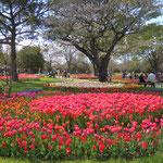 公園に並んで植えられたチューリップはさまざまな紋様を描いていました。         ・原色で描く紋様チューリップ(和良)