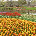 国営昭和記念公園には22万株のチューリップが植えられています。    ・庭園の果ての果てまでチューリップ(和良)