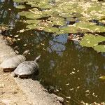 道後公園の内堀で見た亀は夫婦のように見えました。          ・長閑かな亀寄り添ひて甲羅干す(和良)