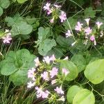 我が家の庭はいつの間にかかたばみの花で一杯になりました。        ・かたばみの花の四方に増えし庭(和良)