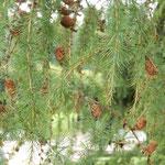 エカテリーナ宮殿の庭園の近くでレバノン杉の新松子を見ました。    ・新松子レバノン杉は松なりし(和良)