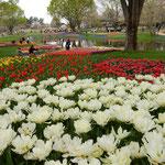 国営昭和記念公園は返還された米軍基地を市民に開放したものです。   ・真白とは際立てる色チューリップ(和良)